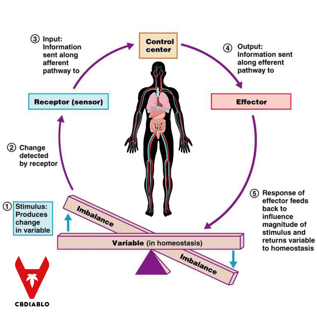 What is Homeostasis? Why Is It so Important For Our Wellbeing?