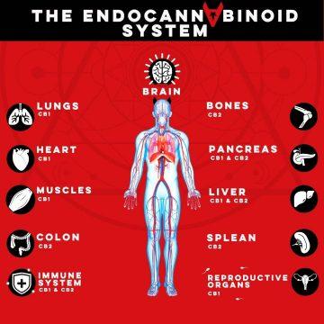 The Endocannabinoid System (ECS)